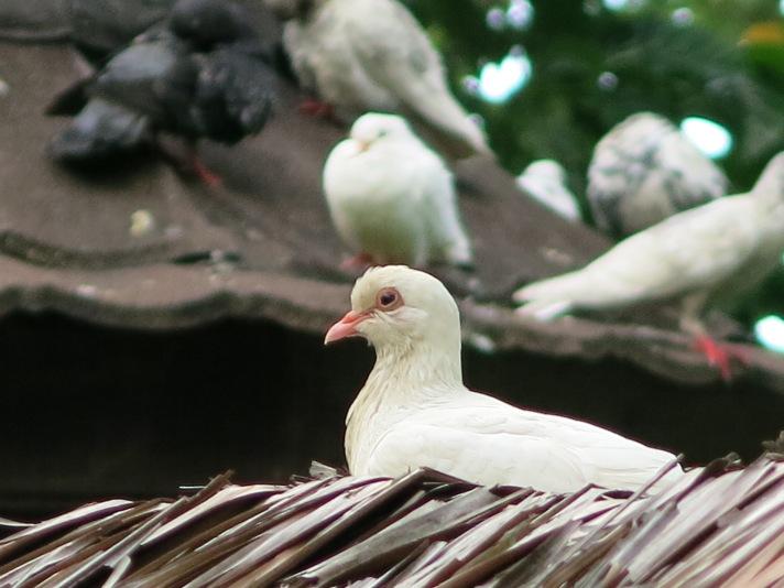 Merpati putih