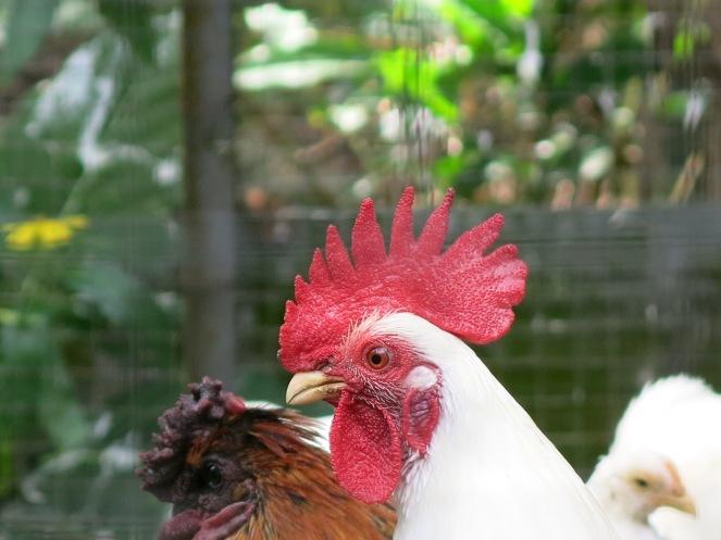 Ayam Nias